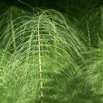 prele-et-silicium-toutes-les-vertus-des-plantes-medicinales-dans-une-petite-fleur