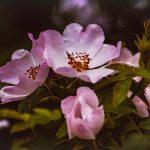 fleur de bach wild rose