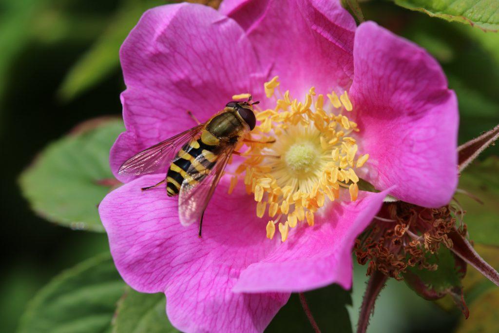 fleur de bach wildrose